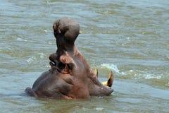 河马(河马amphibius) 免版税库存图片