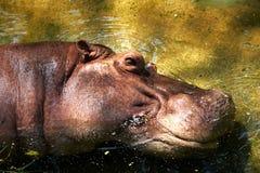河马potamus头在河开放眼睛躺下有点 库存照片