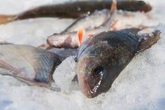 河鱼在雪说谎。 冬天渔 免版税库存照片