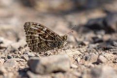 河鳟蝴蝶在岩石地面的Hipparchia semele 图库摄影