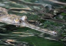 河Gavial鳄鱼在河 免版税图库摄影