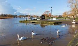 河Stour克赖斯特切奇多西特有天鹅的英国英国 免版税图库摄影