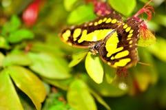 绿沸铜(上部)蝴蝶 免版税库存图片