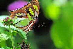 绿沸铜(下面)蝴蝶 免版税库存照片