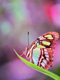 绿沸铜蝴蝶(下面)在鸟舍 免版税库存图片