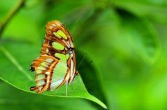绿沸铜蝴蝶(下面)在绿色叶子 免版税库存照片