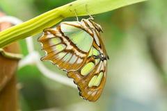 绿沸铜蝴蝶(Siproeta stelenes) 库存图片