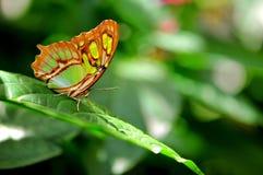 绿沸铜蝴蝶(Siproeta stelenes) 免版税图库摄影