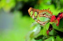 绿沸铜(Siproeta stelenes)蝴蝶(下面 免版税库存图片
