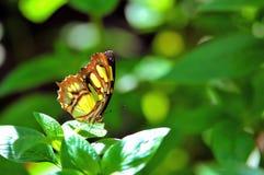 绿沸铜(Siproeta stelenes)蝴蝶 库存照片