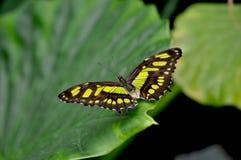 绿沸铜Butterly Siproeta stelenes 免版税图库摄影
