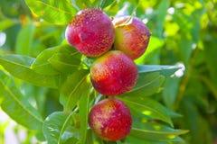 油桃在与红颜色的一棵树结果实 图库摄影