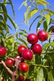 油桃在与红颜色的一棵树结果实 免版税库存照片