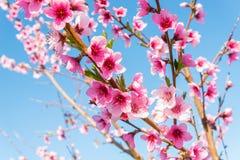 油桃开花 库存照片