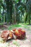 油棕榈树在种植园-系列2结果实 库存图片