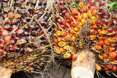 油棕榈树果子背景 库存图片