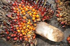 油棕榈树果子背景 免版税库存图片