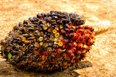 油棕榈树果子 免版税库存照片
