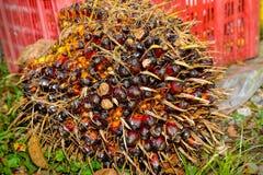 油棕榈树果子 库存图片