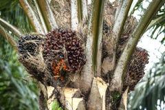 油棕榈树树 免版税库存照片
