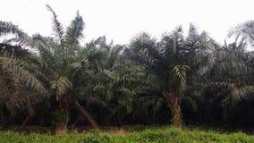 油棕榈树树 免版税图库摄影