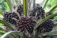 油棕榈树的果子在树棕榈油guineensis的 库存照片