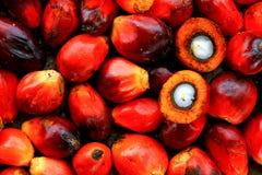 油棕榈树种子 库存图片