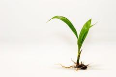 油棕榈树种子 库存照片