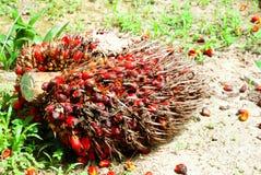 油棕榈树种子 免版税图库摄影