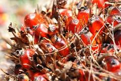 油棕榈树种子 免版税库存图片