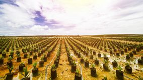油棕榈树种植园或油棕榈树种子 免版税库存图片