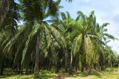 油棕榈树种植园 图库摄影
