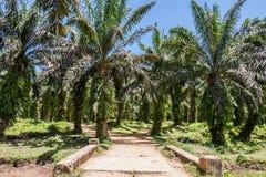油棕榈树种植园 库存照片