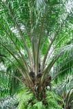 油棕榈树结构树 免版税库存照片