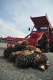 油棕榈树 免版税图库摄影