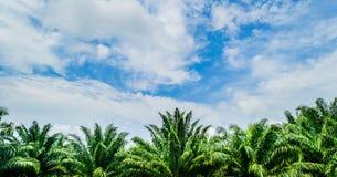 油棕榈树 库存图片