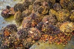 油棕榈树 免版税库存图片