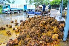 油棕榈树 免版税库存照片