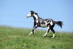 油漆马赛跑华美的黑白公马  免版税库存照片