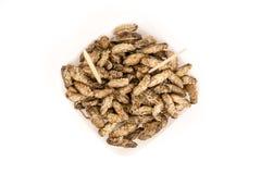油煎的蟋蟀昆虫 免版税库存照片
