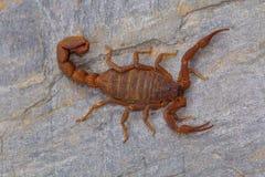 油脂盯梢了蝎子从萨塔拉区的Hottentotta rugiscutis 库存照片