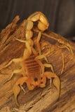 油脂被盯梢的蝎子Hottentotta sp 从科摩林角,泰米尔纳德邦 免版税库存照片