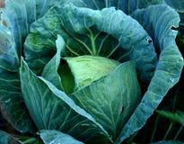 油菜原始的slaw 库存照片