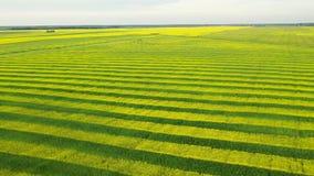 油菜和麦子黄色和绿线在农业领域空中前锋 股票录像