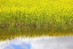 油菜和水反射 免版税库存照片