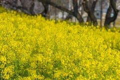 油菜在Kumagaya,埼玉,日本的Nanohana花 免版税库存照片