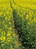 油菜域种子轮胎跟踪 免版税库存图片