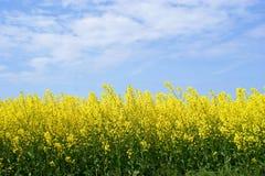 油菜子黄色 库存图片