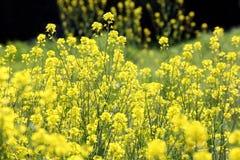 油菜或油菜籽植物 免版税库存照片