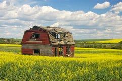 油菜的老被放弃的红色谷仓 免版税库存图片